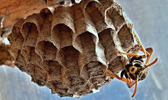 jak zlikvidovat vosí hnízdo